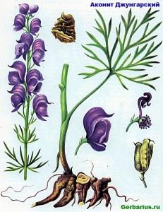 Aconitum soongaricum