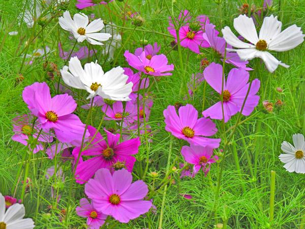 Укропа цветы